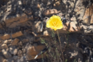A yellow flower on July 4, 2015 on Iron Mountain trail (Poway, San Diego)