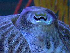 A cuttlefish with W-shaped pupils
