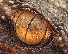 A gecko with 'string of pearls' pupils