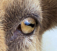 A goat with horizontal rectangular pupils