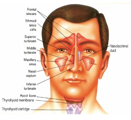 sinuses_diagram.png